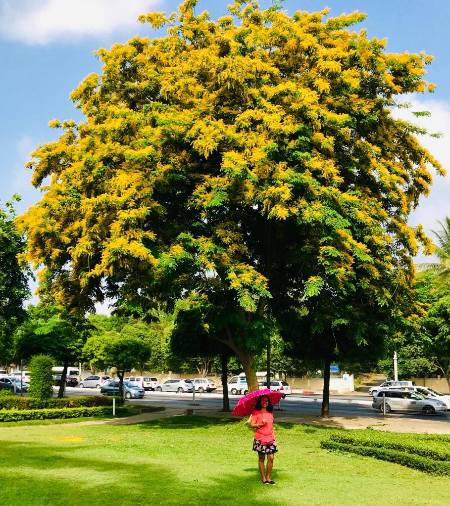 Pohon Bunga Padauk atau Bunga Thingyan sangat cantik kuning keemasan
